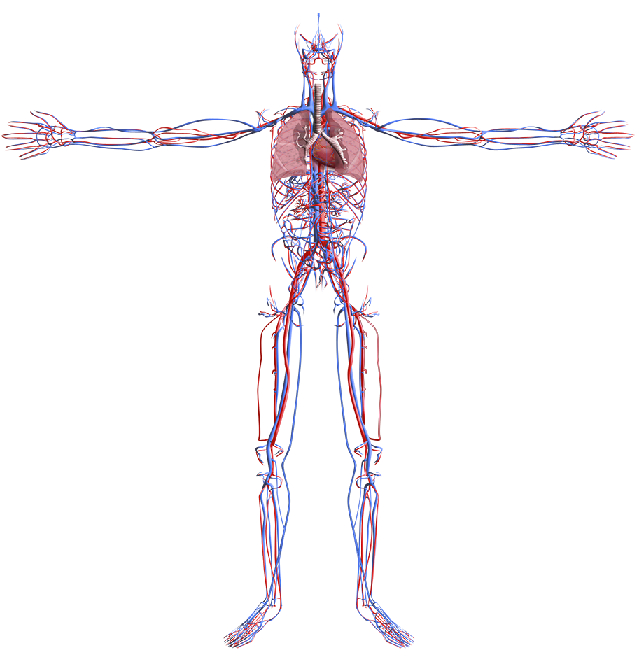 Full Body Viewer likewise Circulatory Systems together with Cardiovascular System as well Lymphatic System Diagram Labeling Test further Splanchnic Circulation. on circulatory system veins